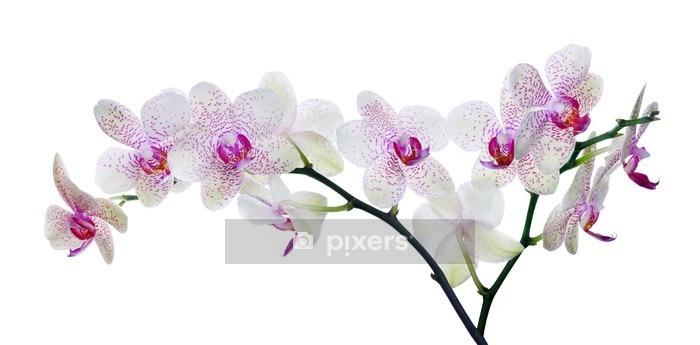 Sticker mural Lumière la couleur des fleurs d'orchidées dans des taches roses sur fond blanc - Sticker mural