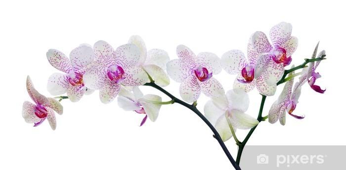Sticker Pixerstick Lumière la couleur des fleurs d'orchidées dans des taches roses sur fond blanc - Sticker mural