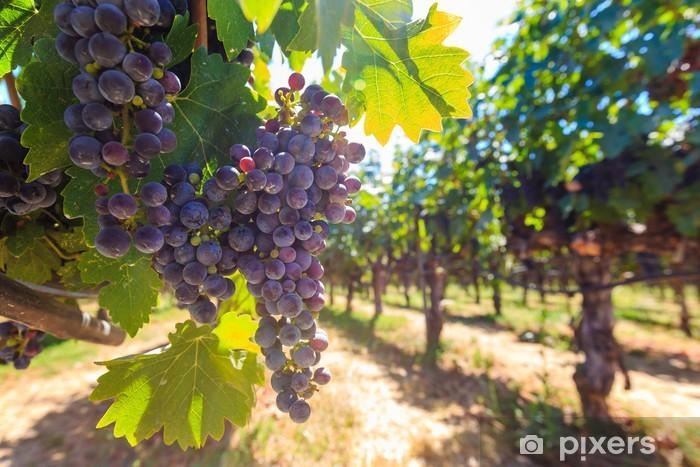 Fototapeta winylowa Kiści czerwonych winogron wiszące wokół - Pory roku