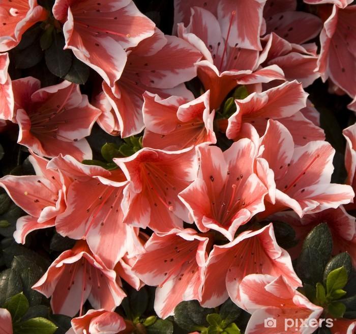 Plakat Azalee - Kwiaty