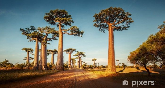 Fototapeta samoprzylepna Baobabs - Tematy