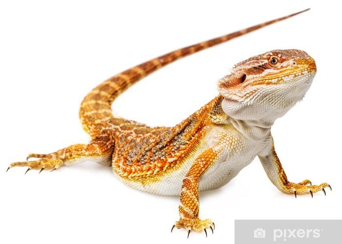 Fototapeta winylowa Brodaty Dragon - Pogona Vitticeps na białym tle - Fikcyjne zwierzęta