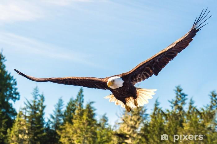 Fototapeta winylowa Północ Bielik amerykański w połowie lotu, polowania wzdłuż rzeki - Orły