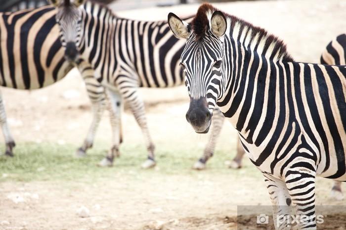 Fototapeta winylowa Zebra i stado - Tematy