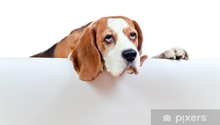 Vinylová fototapeta Beagle na bílém pozadí - Vinylová fototapeta