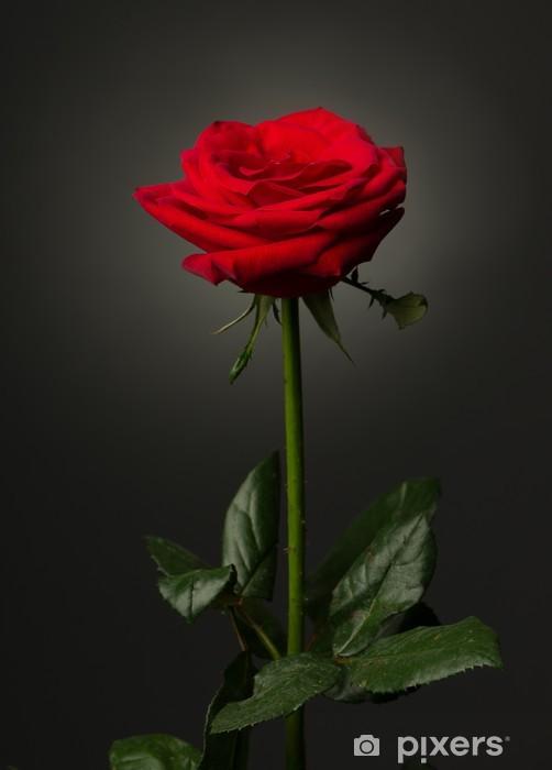 Nálepka Pixerstick Jedna červená růže na černém pozadí - Témata