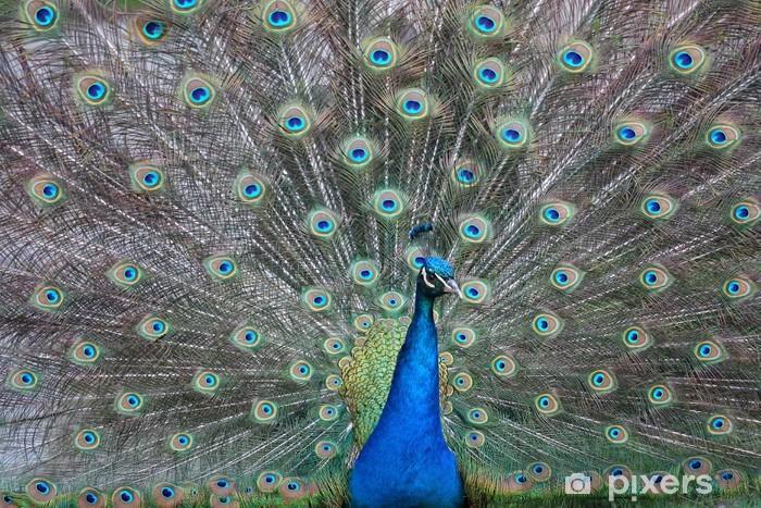 Sticker Pixerstick Beau paon avec des plumes colorées - Oiseaux