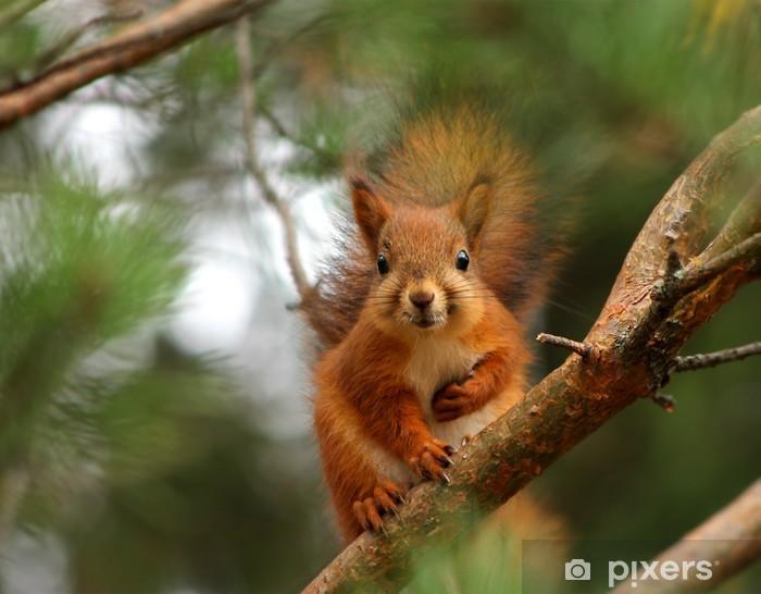 Cute red squirrel in pine tree Pixerstick Sticker - Mammals