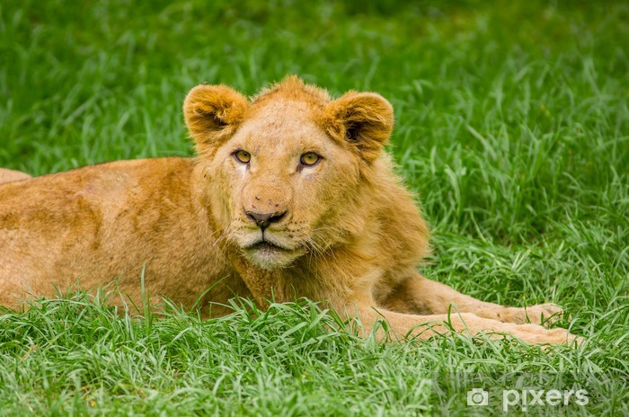beautiful young lion resting on grass Vinyl Wall Mural - Themes