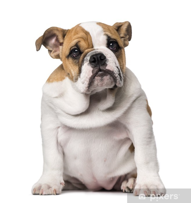 English Bulldog Puppy 3 Months Old Wall Mural Pixers We Live