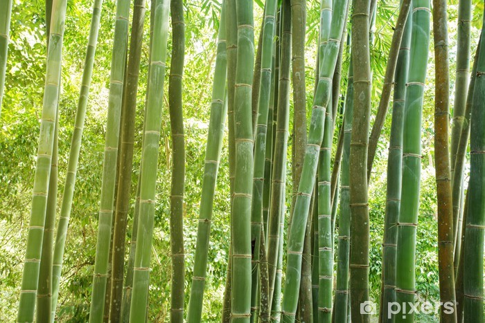 bamboo forest Vinyl Wall Mural - Themes