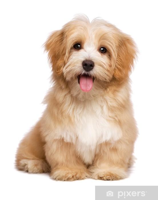 4f4f6b859a0 Fototapeta vinylová Krásná šťastná načervenalý havanský psík štěně sedí  čelní