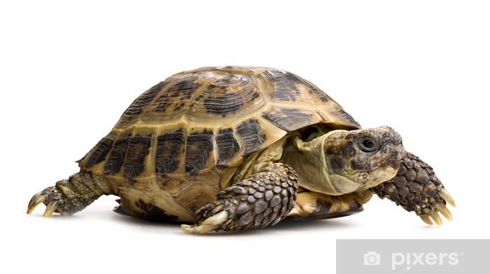 Papier peint vinyle Tortoise closeup isolé sur blanc - Autres Autres