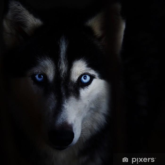 Fototapeta winylowa Husky syberyjski - Życie
