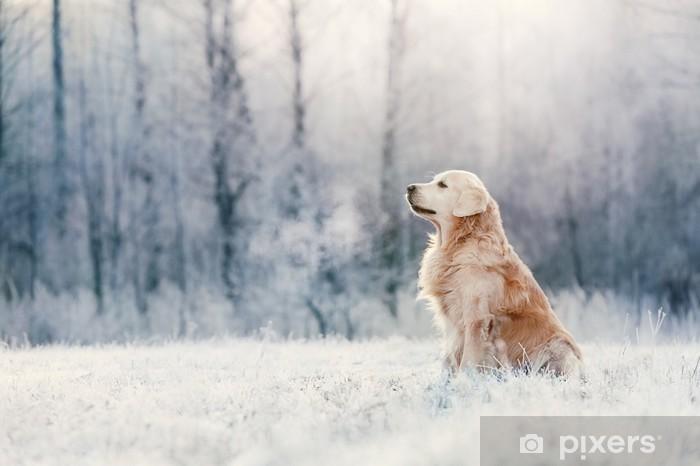 Nálepka Pixerstick Zlatý retrívr sedí v mrazu na zimní den - Outdoorové sporty