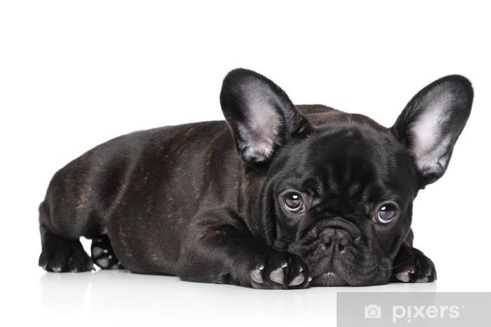 Fototapet Svart fransk bulldog valp • Pixers® - Vi lever för förändring ae6bf0fac5f9b