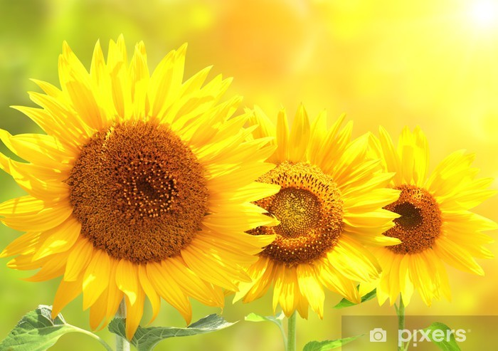 Bright yellow sunflowers Pixerstick Sticker - Themes