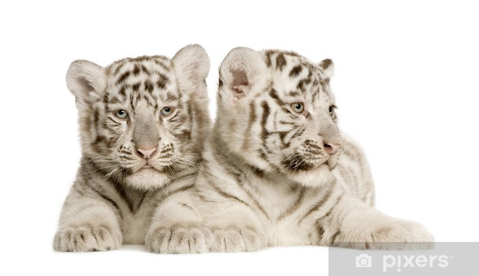 Sticker Pixerstick White Tiger cub (2 mois) - Sticker mural