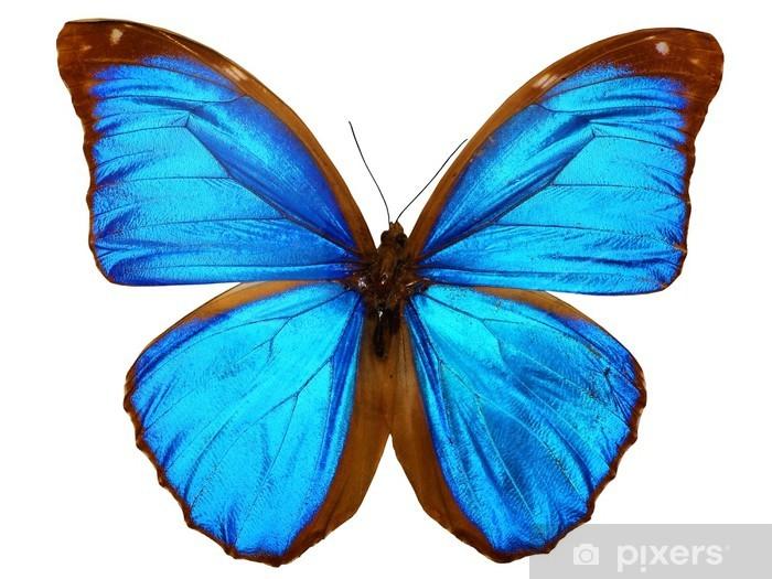 Vinylová fototapeta Papillon (morpho Menelaus, Brésil) - Vinylová fototapeta