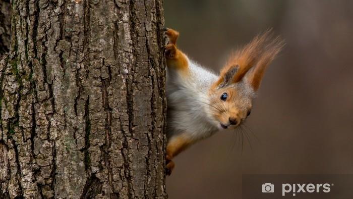 Fototapeta winylowa Zaskoczony wiewiórka, zerkając zza drzewa - Uczucia i emocje