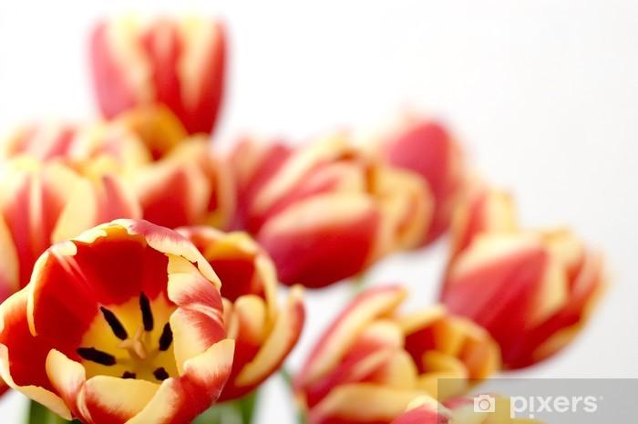 Fototapeta winylowa Tulipany kwitnące - Kwiaty