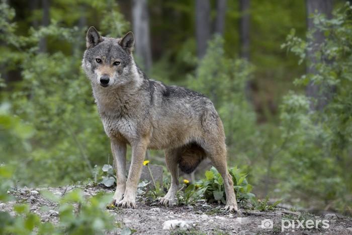 Sticker Pixerstick Gray Wolf - Thèmes
