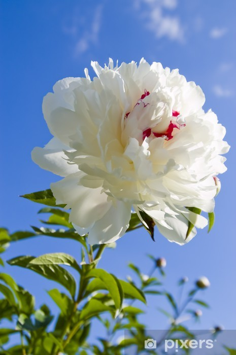 White Peony Wall Mural Pixers We Live To Change