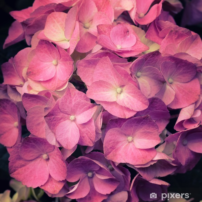 Vinyl-Fototapete Eine hellrosa Hortensia Blume - Jahreszeiten