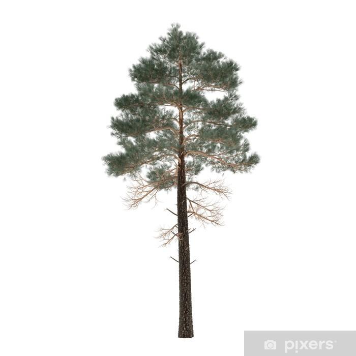 Fototapet Tr 228 D Tall Isoleras Pinus Pixers 174 Vi Lever