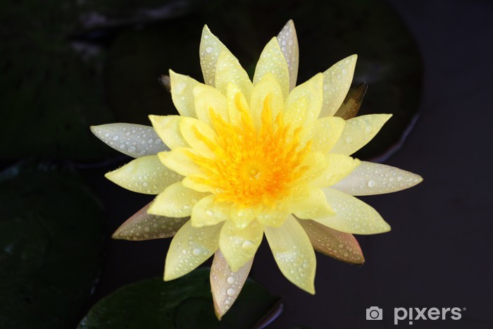 Yellow Lotus Flower Wall Mural Pixers We Live To Change