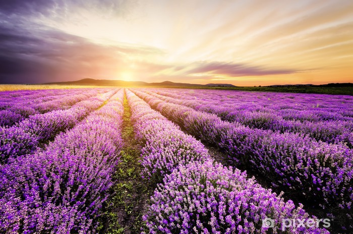 Afwasbaar Fotobehang Lavendel bij zonsopgang - Thema's