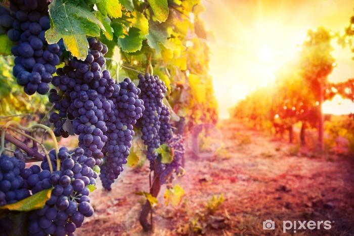 Fototapeta winylowa Winnic z dojrzałych winogron w wsi o zachodzie słońca - Rolnictwo