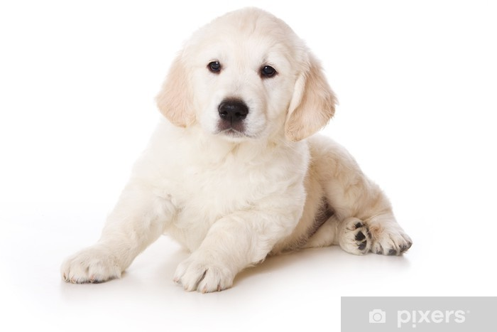 Wall Mural - Vinyl Golden retriever puppy on white background