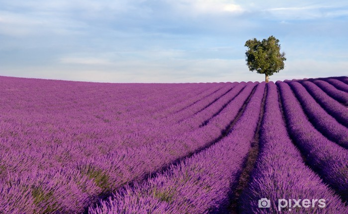 Rich lavender field in Provence with a lone tree Pixerstick Sticker - Herbs