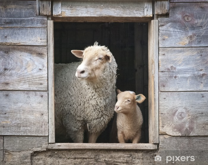 Sheep and Small Ewe, in Wooden Barn Window Vinyl Wall Mural - Mammals