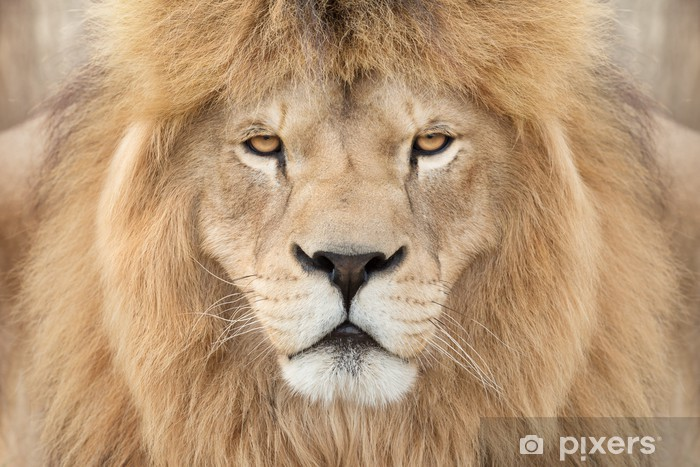 497039f4d551b Papier peint Couronné roi lion • Pixers® - Nous vivons pour changer