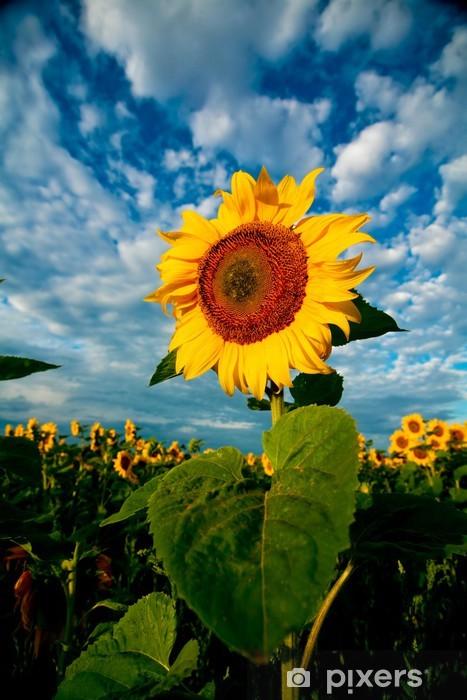 Nálepka Pixerstick Obraz žlutých slunečnic pod dramatickou oblohou - Venkov