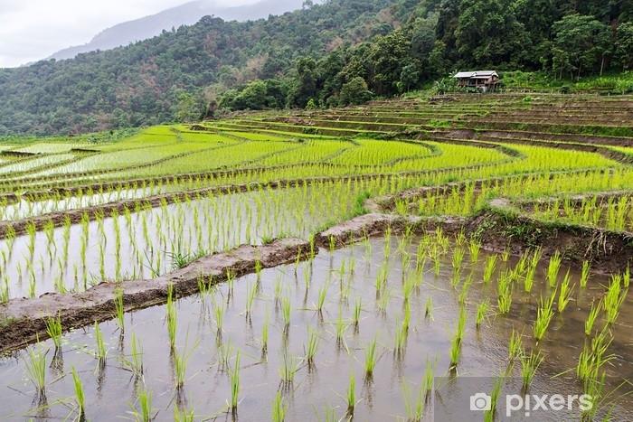 Fototapeta winylowa Sadzonki ryżu na polach ryżowych - Przemysł