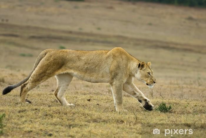 Vinyl-Fototapete Eine geschmeidige junge Löwin jagt über die Ebenen - Säugetiere