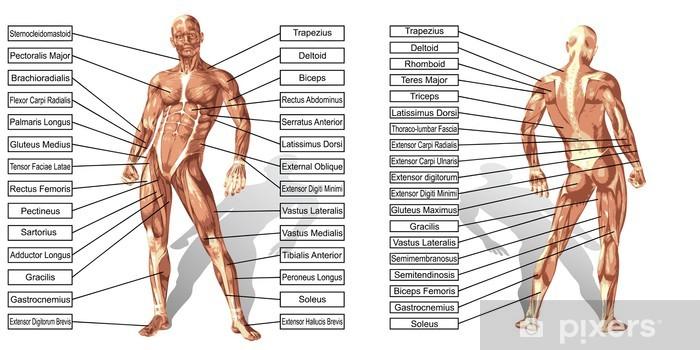 Vinyl Fotobehang Vector 3D man spier anatomie met tekst geïsoleerde - Gezondheid en Geneeskunde