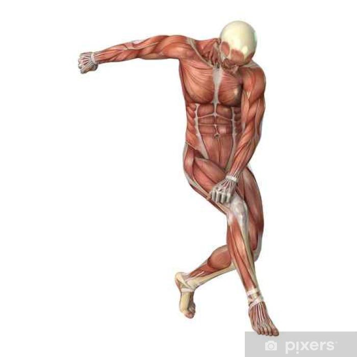 Male Figure Muscle Maps Vinyl Wall Mural - Science