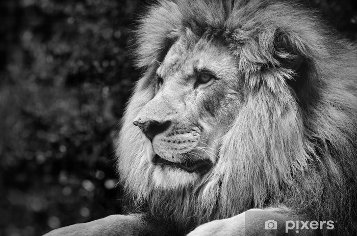Strong Contrast Black And White Of A Male Lion In Kingly Pose Vinyl Wall Mural