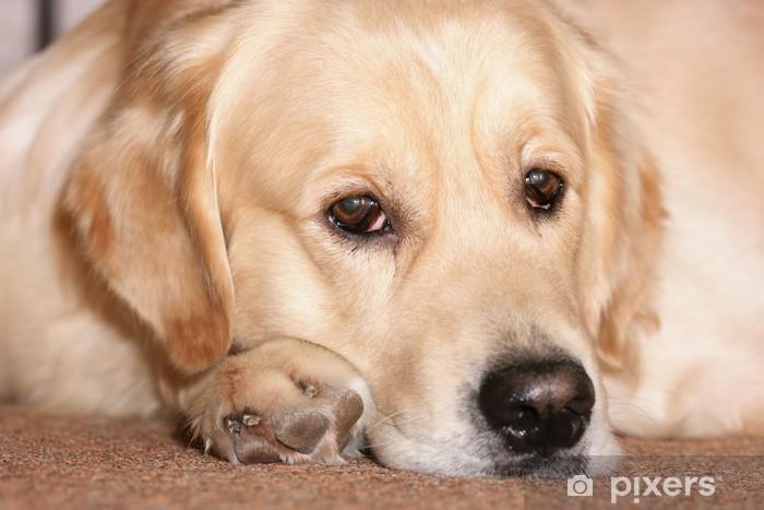 Pixerstick Sticker Labrador retriever - Thema's