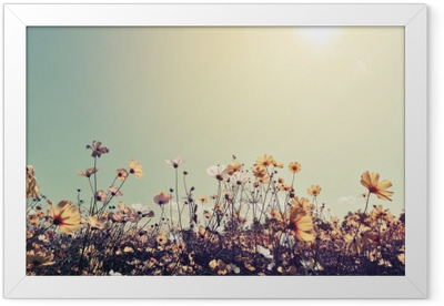 Vintage landscape nature background of beautiful cosmos flower field on sky with sunlight. retro color tone filter effect Framed Poster