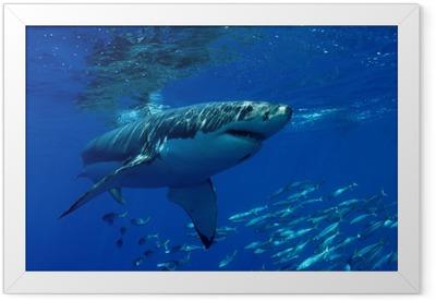 Great white shark Framed Poster