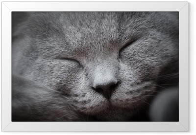 Face close-up of a young cute cat sleeping blissfully. The British Shorthair Framed Poster