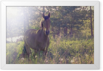 Brown horse in the middle of a meadow in the grass, the rays of the sun, toned. Framed Poster