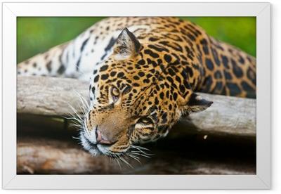 Jaguar - Panthera onca Framed Poster