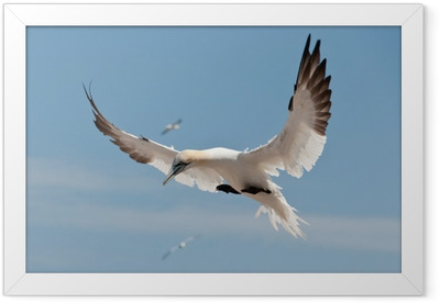 Ingelijste Poster Vliegen Gannet