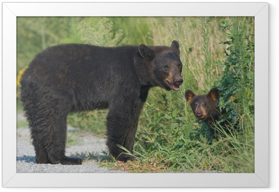 Black bear mother with cub. Alligator River NWR Framed Poster